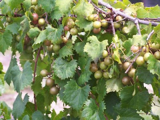 muscadine dating American wine, dating back to 1562 san sebastian winery today, san sebastian ranks as one of florida's premium wineries, and remains a pioneer in the development of premium, sparkling and dessert wines from muscadine grapes.