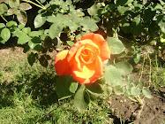 """...collige virgo rosas,...."""