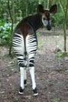 Support the Okapi Conservation Project!