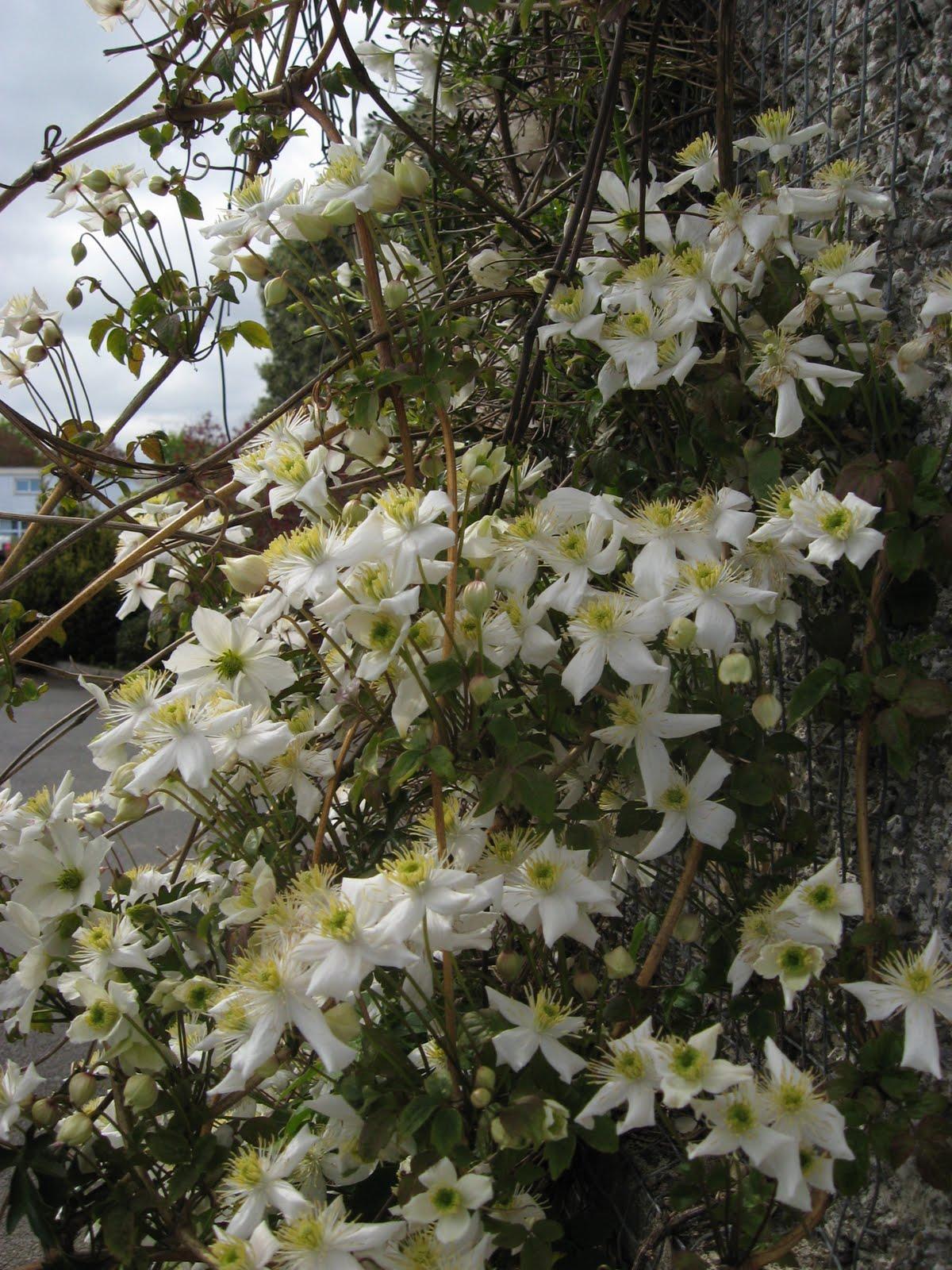 dublin flora clematis montana 39 alba 39. Black Bedroom Furniture Sets. Home Design Ideas