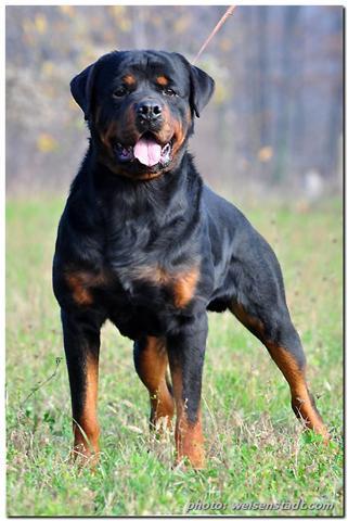 Cheeky Cognoscenti Good Dog Carl German Rottweilers Are On My Mind
