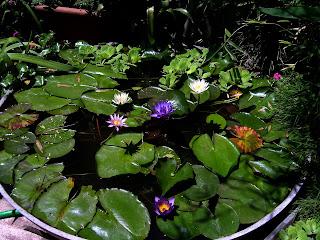 Nenufares y estanques for Criar tilapias en estanques