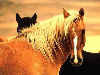 Imagenes de caballos (cualquier estacion) Horse+Wild+Mustangs,+Reno,+Nevada