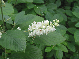 Spicebush log sweet pepperbush the small sweet smelling white flowers with five petals are borne on a raceme mightylinksfo