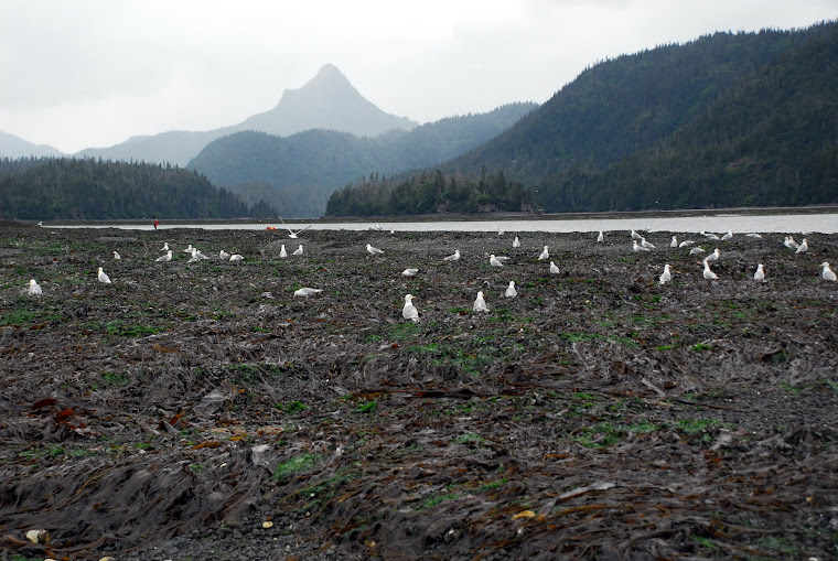 Sea Gulls at Clam Digging Site in Cove at Homer