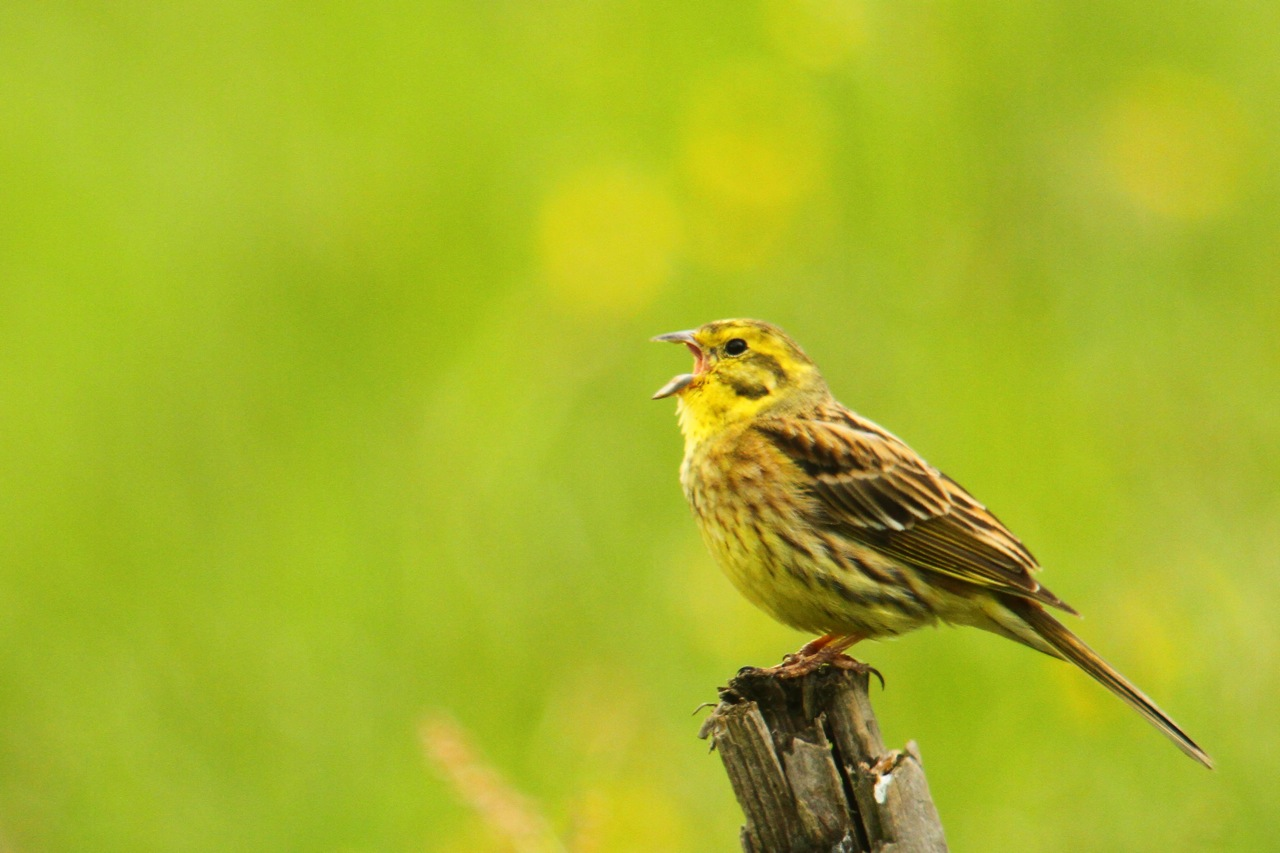 Yellowhammers and other cool birds Jakes Bones