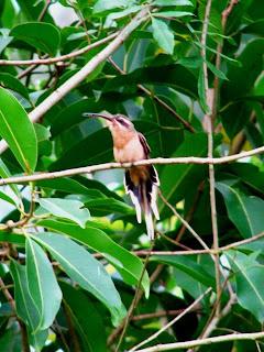 Beija-flor-de-rabo-branco