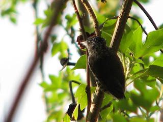 pica-pau-anão-escamado