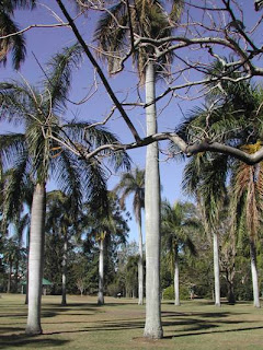 Royal Cuban Palms