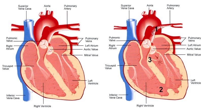 human+heart+diagram the+human+heart+for+kids the+human+body+, Muscles