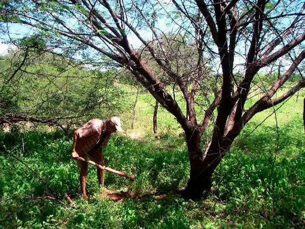 Jurema Preta - Mimosa Hostilis