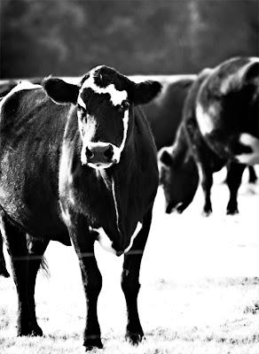 black cow.