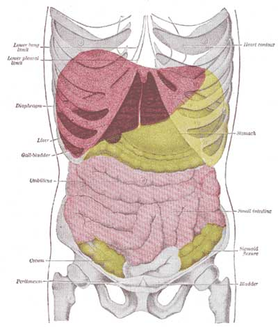 Suprarenal veins in addition What Is A Spleen as well Liver Pain Location Symptoms Causes Treatment And Prevention additionally APIINotes8 20Digestive 20Anatomy besides Abdominal cavity. on abdominal viscera anatomical location posterior view