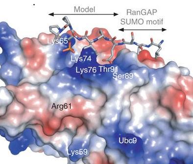 steroidogenic pathway