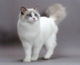 cat-Ragdoll.jpg