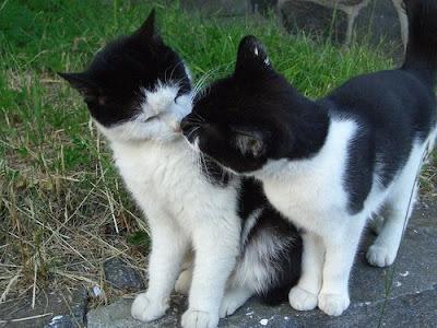 http://3.bp.blogspot.com/_gTJMEP-c2fo/SLffnEgVvNI/AAAAAAAAEBs/ku0hxbWeKzI/s400/kissing+cats+picture.jpg