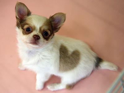 chihuahua hjerte
