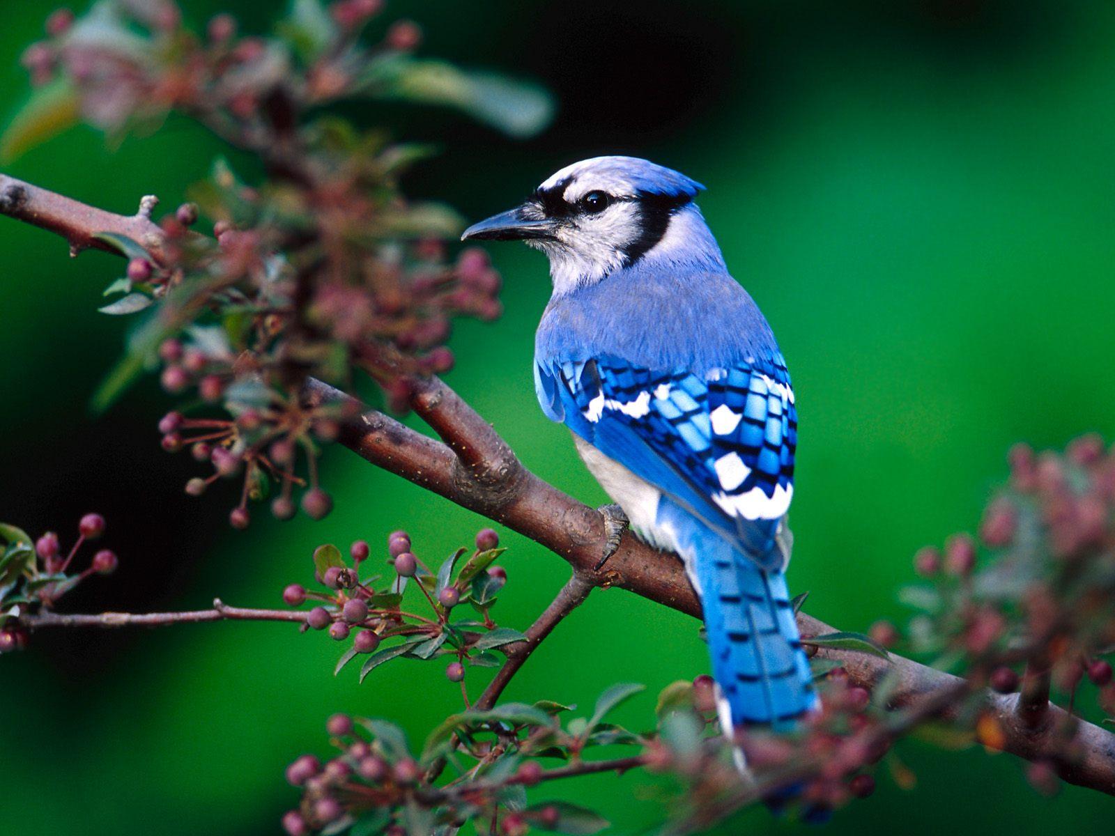http://3.bp.blogspot.com/_gV-NxB_52J8/TFrzc9n7SFI/AAAAAAAAAdY/DE1PqcOO45k/s1600/beautiful-green-nature-with-birds-bue-jay-bird.JPG