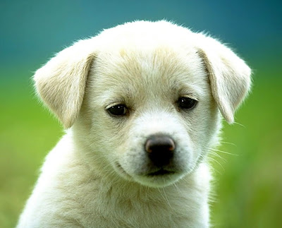A cute white dog