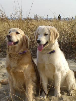 golden dog, dog types
