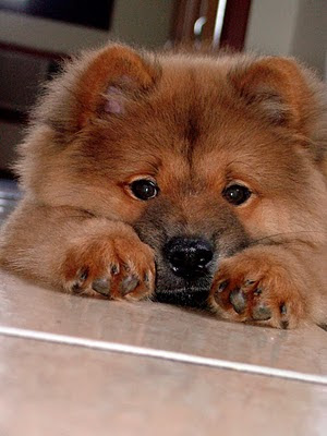 Chow Chow, Chow Chow dog, cute Chow Chow
