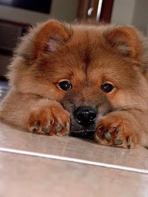 Chow Chow, Chow Chow dog, cute Chow Chow