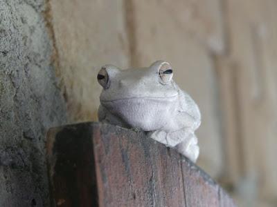 white+frog+good - Kini Maoy Tinuod Nga Extremely Unusual: White Frog! - Weird and Extreme