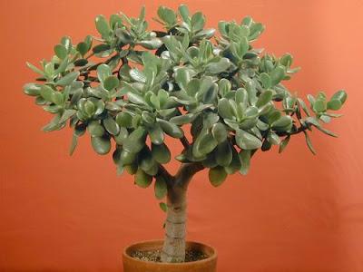 http://3.bp.blogspot.com/_gXK-c-CtUuk/TTjPY6nJjnI/AAAAAAAAF70/IpmSlRHgXiE/s400/jade%2Bplants