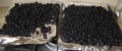 A big haul of blackberries