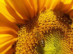 Polen toplayan arılar