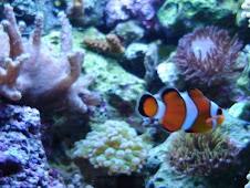Un pez payaso vive de 12 a 14 meses