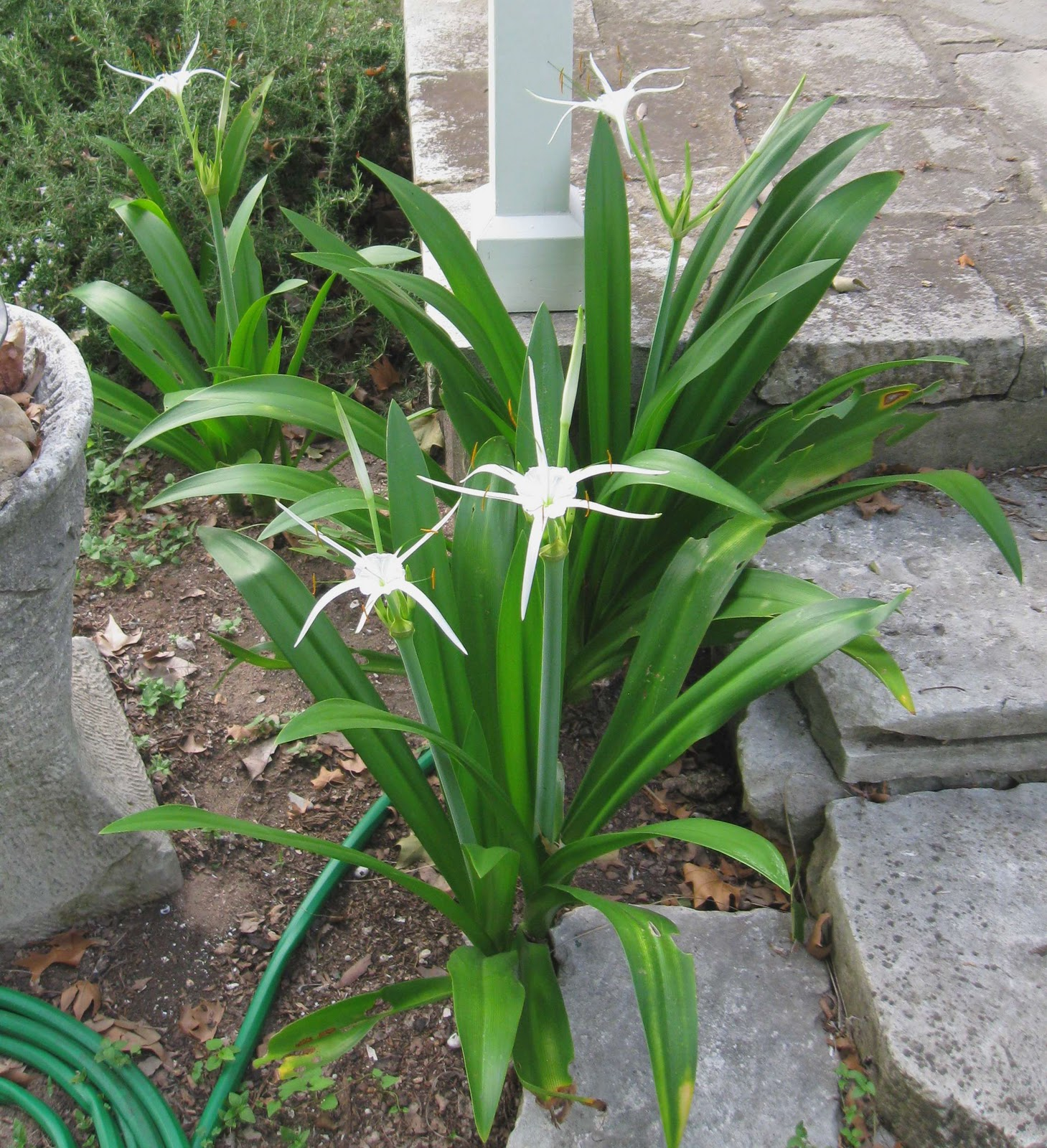 Spider lily beautiful flowers are white with fi you might also like izmirmasajfo
