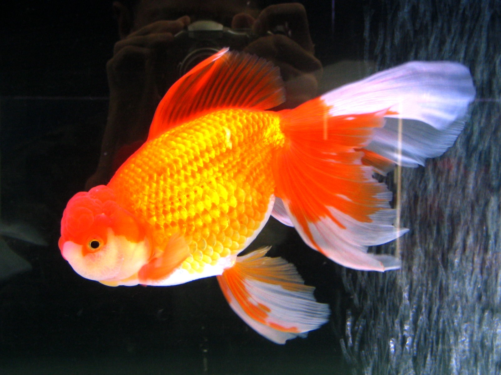 goldfish and water temperature Wwwfrontiersinphysorg the effects of water temperature change on goldfish  physiology and behavior melinda pittis 1999 frontiers in physiology research .