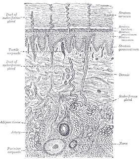 The Skin, Dermis