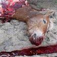 Cheval Retrouvé Assassiné chez son Propriétaire