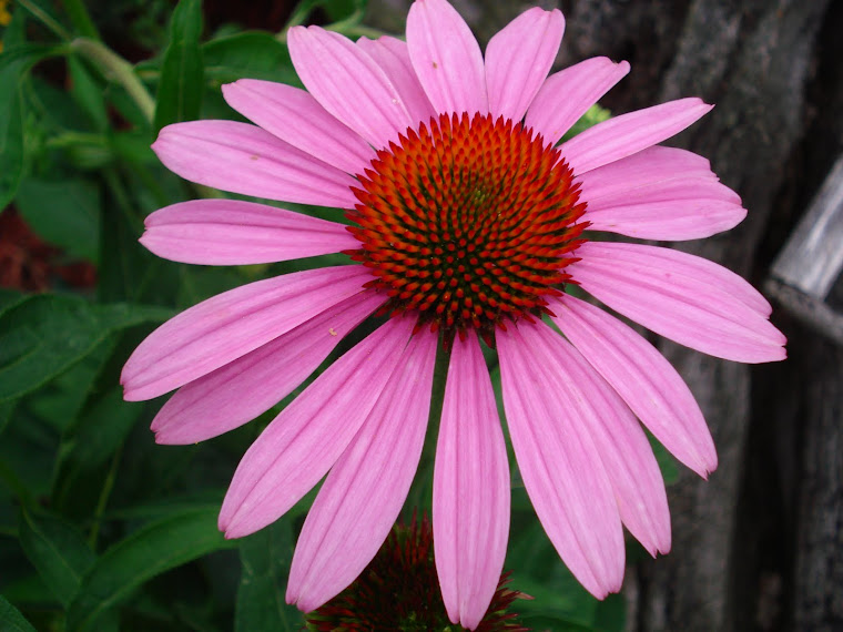Beautiful Coneflower