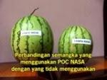 Kesaksian pupuk Organik Nasa pada Tanaman semangka, meningkatkan bobot rata-rata panen.