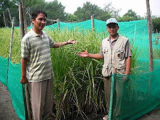 lahan pasir bisa di tanami berbagai tanaman dengan pemupukan pupuk organik nasa