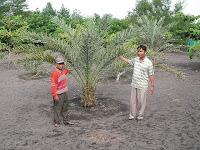 tanaman mampu tumbuh normal di lahan pasir dengan pupuk organik nasa