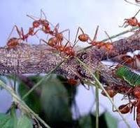 Semut Rangrang, si Pedas yang Cerdas
