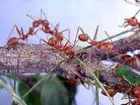 Semut Sebagai Pengendali Hama Tanaman Alami