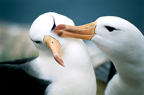 Great albatrosses have the largest wingspans of any bird in the world
