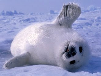 Cute (or not so) pictures - Page 2 Save%2520Baby%2520Seals