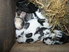Anak kelinci umur 10 Hari