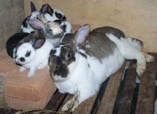 Anak kelinci umur 25 hari