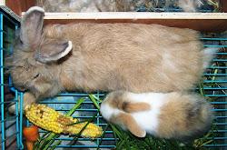Anakan Anggora Peternakan Kelinci King's Rabbit-Makassar