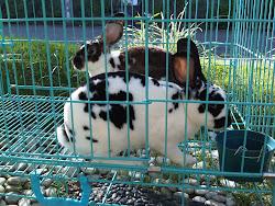 Koleksi Rex Peternakan Kelinci King's Rabbit-Makassar