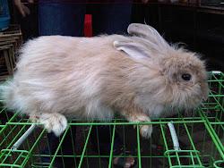 Koleksi Anggora Peternakan Kelinci King's Rabbit-Makassar