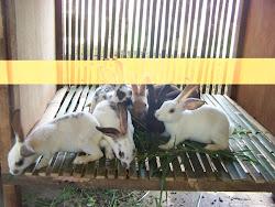 Anakan Kelinci Ras Rex Produksi Peternakan King's Rabbit-Makassar