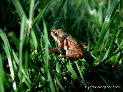 Common Garden Frog (Rana temporaria)